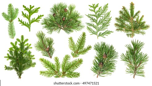 Set of evergreen coniferous tree branches isolated on white background. Spruce, pine, thuja, fir; cone