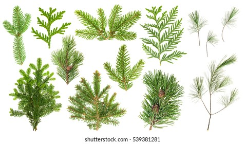 Set of evergreen coniferous tree branches isolated on white background. Spruce, pine, cypress, fir