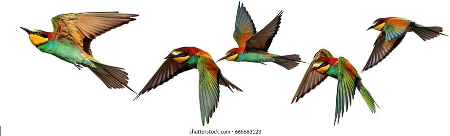 Set of exotic birds on white backgrounds,Bee-eater, creative approach