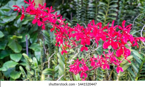 Set of exotic reddish orchids from National Orchid Garden, Singapore