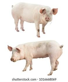set of farm animal. pig isolated on white bac