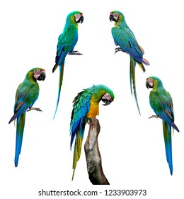 Set of fascinated green parrot Buffon's macaw bird isolated on white background, exotic parakeet collection