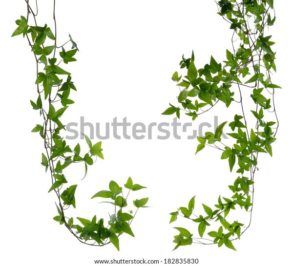 Set of few dense ivy (Hedera) stems isolated on white background. Creeper Ivy stem with young green leaves.