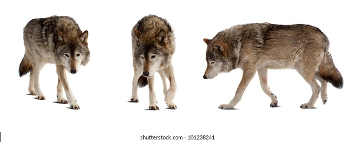 Set of few wolves. Isolated over white background with shade