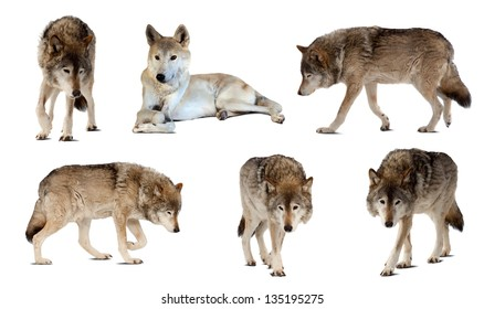 Set of few wolves. Isolated  over white  with shade