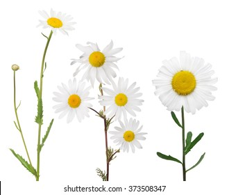 set of fine chamomile flowers on white background