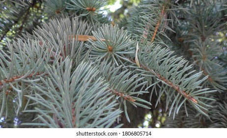 Set of fir branches. Christmas tree, pine tree, winter.