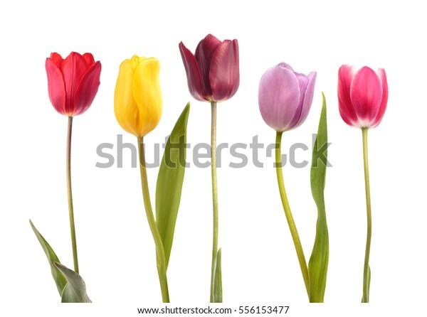Набор из пяти различных цветовых тюльпанов, изолированных на белом фоне
