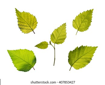 Set of five green birch leaves isolated on white