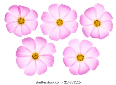 Set of five pink cosmos flowers isolated on white background.