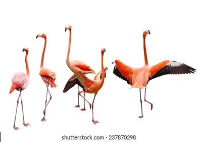 Set of five pink flamingo birds isolated on white background