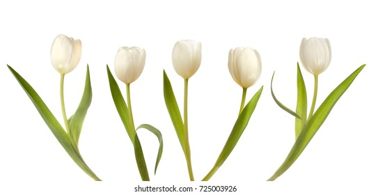 Set of five white tulips isolated on white background