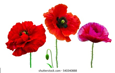 Poppy flower images stock photos vectors shutterstock set of flowers of poppies isolated on white background mightylinksfo