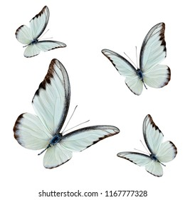 Set of flying beautiful buterflies with fully wing sweeping over white background, chocolate albatross