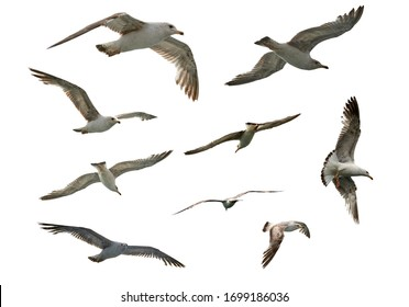 set of flying different seagulls isolated