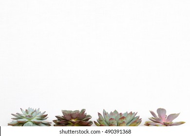 Set of four different kinds of succulent plants - Echeveria - on white background at the bottom side of frame with a lot of blank space available. Side view.