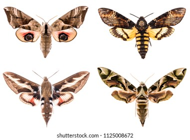Set of four Sphingidae hawk-moths night moths - Smerinthus ocellatus, Daphnis neri, Hyles gallii, Acherontia atropos isolated on white