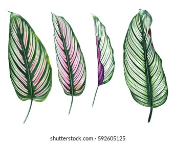 Set of four tropical leaves isolated on white background. Hand drawn exotic leaves illustration in watercolor. Botanical illustration. For your design.