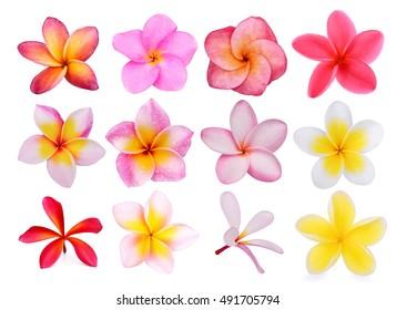 set of frangipani flowers isolated on the background white