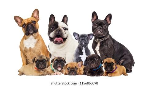 set French Bulldog Dog on a white background