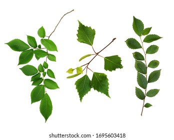 Set of fresh branches with green leaves isolated on white background