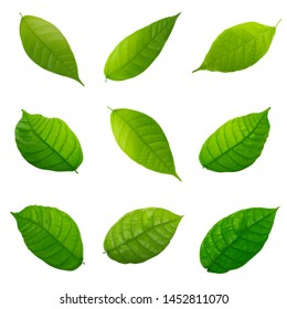 set of fresh green cacao leaves isolated on white background