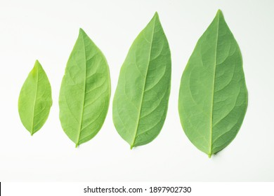 Set of fresh green leaves of different sizes. Isolated on a white background