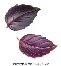 Set of fresh purple basil leaves isolated on white background.