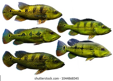 Set of Freshwater Fish on white isolated background. Peacock Bass Set such as Cichla kelberi, Cichla orinocensis, Cichla melaniae etc.