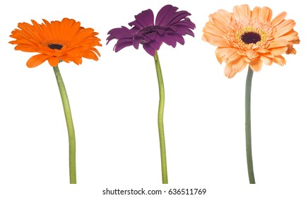 set of gerbera flowers isolated on white background