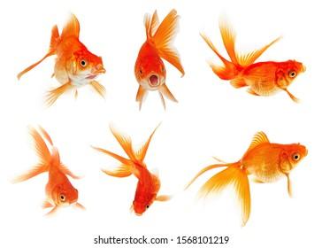 Set of Goldfish Isolated on White Background