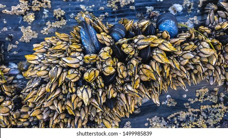 Set of Goose barnacles and mussels at rocks in galician coast