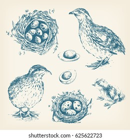 Set of  graphic illustrations of quail, chick, eggs and nest of quail. Hand drawn engraving style. Vintage design.