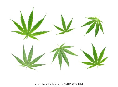 Set of green cannabis sativa. Marijuana leaf front and back isolated on white background.