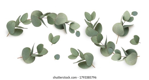 Set of green eucalyptus leaves  isolated on white background.