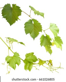 set of green grapevine twig isolated on white