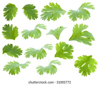 set of green leaves of coriander for food design isolated on white