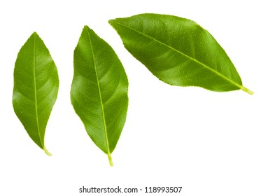 Set of green lemon tree leaves isolated on white background.