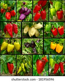 set of growing and ripening sweet peppers different varieties