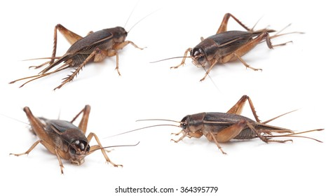 Set of Gryllidae isolated on a white background