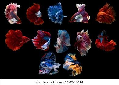 Set of Halfmoon betta beautiful fish. capture the moving moment beautiful of siam betta fish in thailand on black background. Rhythmic of Betta fish, siamese, fighting fish, betta splendens.