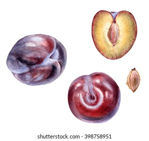Set of hand drawn watercolor botanical illustration of fresh summertime Red Plums. Element for design of invitations, web pages, wedding invitations, textile and other objects. Isolated on white.