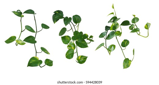 Set of hanging heart-shaped leaves vine, devil's ivy, golden pothos, isolated on white background, clipping path included.