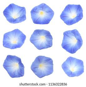 set of head blue ipomoea, glory morning flower