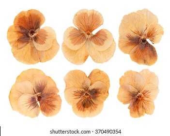 Set heads of dried pressed brown violet flowers isolated