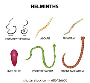 A set of helminths. roundworm, Ascaris, pinworms, bovine tapeworm, pork tapeworm, Whipworm, liver fluke. Infographics illustration on isolated background