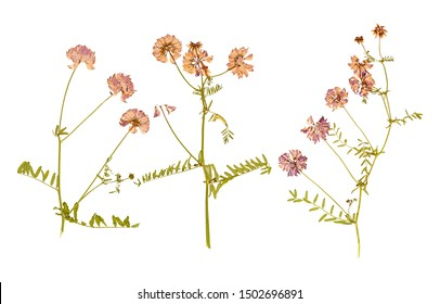 Set of herbarium wild dry pressed flowers and leaves, isolated