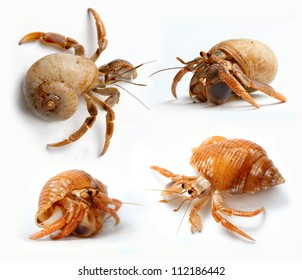 Set of Hermit Crabs from Caribbean Sea isolated on white background