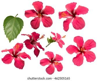Set of Hibiscus rosa-sinensis and leave isolated on white background.