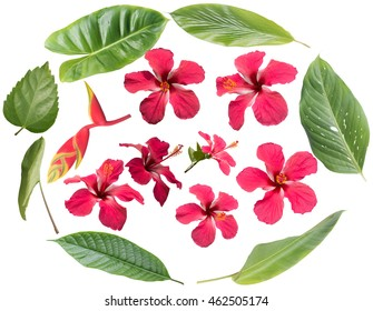 Set of Hibiscus rosa-sinensis and various leave isolated on white background for your design.